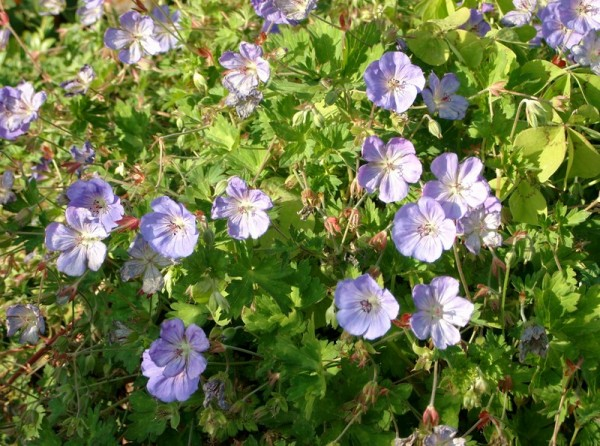 Storchschnabel – Geranium wallichianum 'Rozanne' ('Jolly Bee')